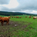 Po modré značce z Orlického Záhoří jdeme prvně. Ty krávy byly hrozně roztomilý, každá měla 1-2 telata