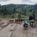 Krávy v cestě