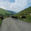 Po silnici se pohybovalo spousta domácího zvířectva