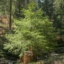 Stromeček vyrůstající z pařezu, něco pro Petera Wohllebena