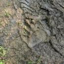 První medvědí stopy