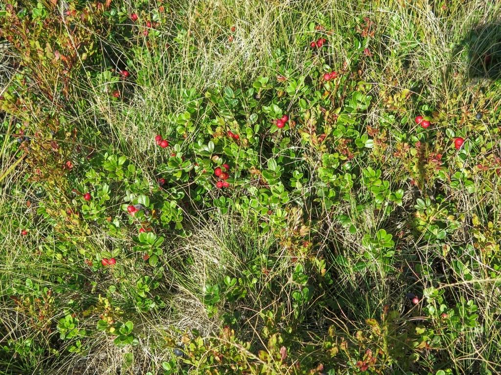 Rostlo tu totiž spousta brusinek a ty červené jsou!