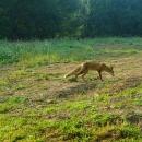 Liška mi v noci odnesla jeden nazouvák od stanu :-) Byla ochočená, zvyklá na lidi a hlavně na zbytky z tábořiště.