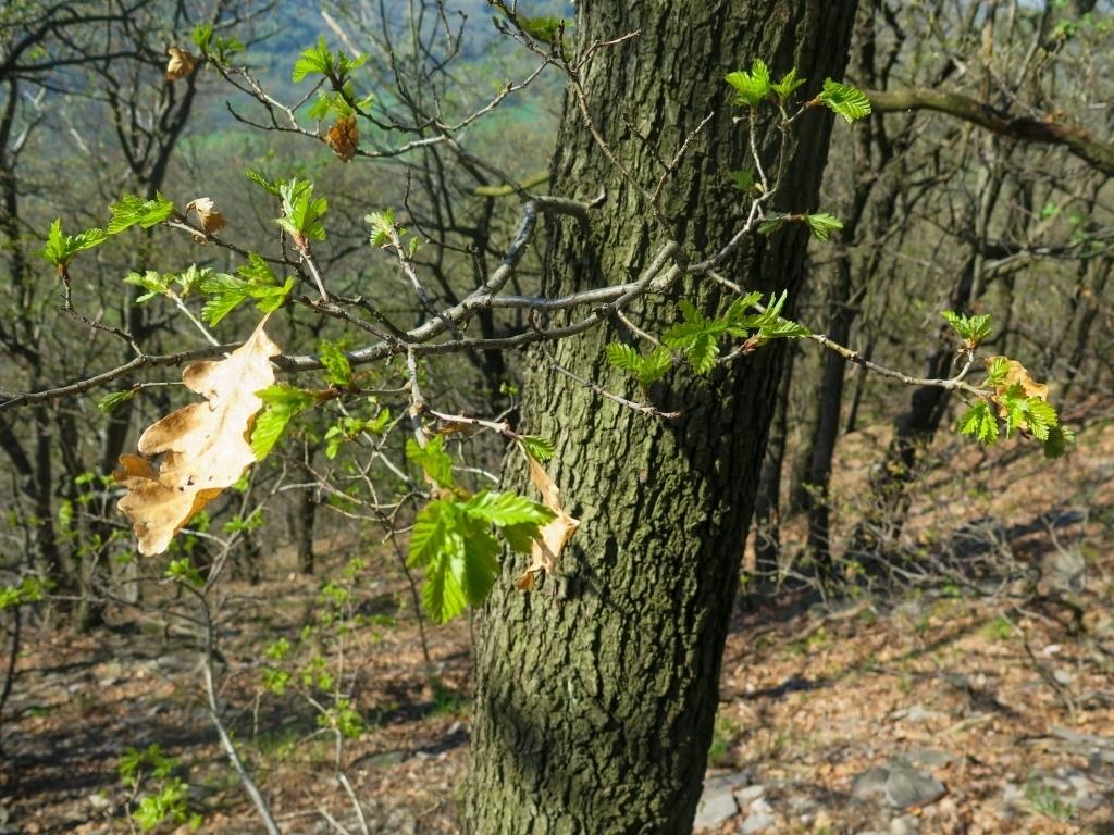 Až opadá listí z dubu - zde důkaz, že nikdy neopadá. Roste už nové a staré ještě drží.
