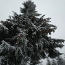 Strom šiškovník - letos je šišek hodně