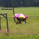 Počasí vyšlo až moc, i kozy potřebovaly slunečník :-)