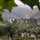 Starý Bar v pozadí olivového háje