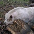 Chundelatá prasata v ohradě na statku