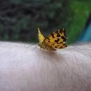 Tak tenhle motýlek si mě zamiloval, neustále na mě přistával a nechal se fotit
