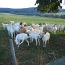 na kozí farmě v Lichkově.