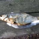 Sušená rybka jako pochoutka