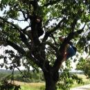 Luděk s Pavlem neodolali úrodě třešní