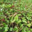 Občas se občerstvujeme na lesních jahodách, jichž jsou u silničky celé lány.