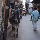 Kráva je svatá a vyskytuje se i v uličkách města