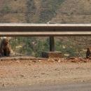 U silnice se objevují opice