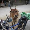 I tady si krávy chodí jak chtějí, tato se přišla podívat, co máme dobrého