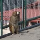 Už i opice se musely přizpůsobit civilizaci