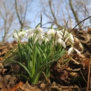 Sněženky fotil Víťa. Jeden by řekl, že bude na jižním Slovensku už všechno rozkvetlé, ale nebylo tomu tak. Příroda byla ještě po zimě syrová, neprobuzená.