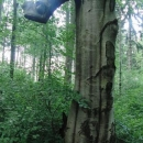 Zajímavý dub s chobotem
