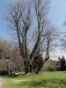 U Vejdovy lípy. Patří mezi nejmohutější památné stromy v ČR