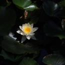 Kdo by řekl, že na kopci bude rybníček a v něm krásně kvetoucí lekníny