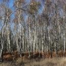 A to už jsme zpátky v Čechách, tyto břízy rostou pod Děčínským Sněžníkem