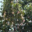 Že roste mango jak koule na provázku jsme nevěděli