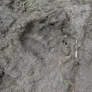 Po pár kilometrech v bahně pěkně zřetelná stopa medvěda. Je  to zajímavé, ale vidím tuto stopu poprvé v životě.