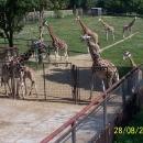 Žirafy. Je to ostuda, ale vidím je, mám pocit, poprvé v životě