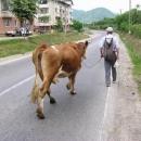 V Rumunsku chodí krávy i po E70