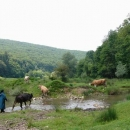 Pasačka krav