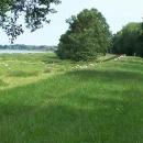 Ovečky spásají trávu kolem Odry