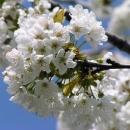 Je jaro, kvetou třešně