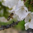 A včelky mají spoustu práce