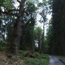 Lesní starci snad z dob výstavby hrází