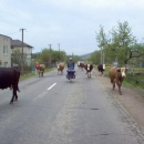 Podkarpatská klasika, jízda mezi kravami