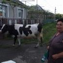 Paní se zrovna vrátila kravka z pastvy