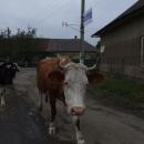 A tak si tam ty krávy sami chodí domů