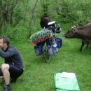 Jako každé ráno nám dělají společnost krávy hnané na pastvu