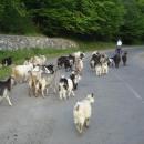 Stádo koz vracející se z pastvy