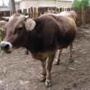 Koločavské krávě tváří v tvář