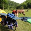 A další ráno s kravami