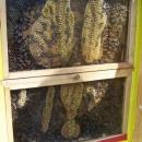 Hradní včelstvo - pohled do úlu