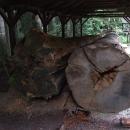Torzo Vidlicového smrku jako ukázka pralesních obrů