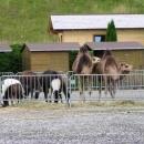 Člověk v Rakousku potká i velbloudy