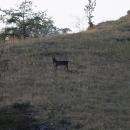 Dlouho jsem sledoval pasoucí se kozu ve svahu, až jsem zjistil, že je plechová