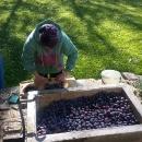 Začátkem října se Luděk rozhodl, že si vyrobíme vlastní švestkovici. Oslovil pár lidí v okolí a výsledkem bylo několik sudů švestek.