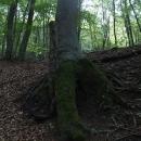 Pevné kořeny mohutných buků