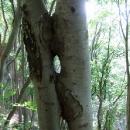 Dvojitý polibek stromů
