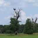 Na starých stromech lužního lesa si staví hnízda čápi